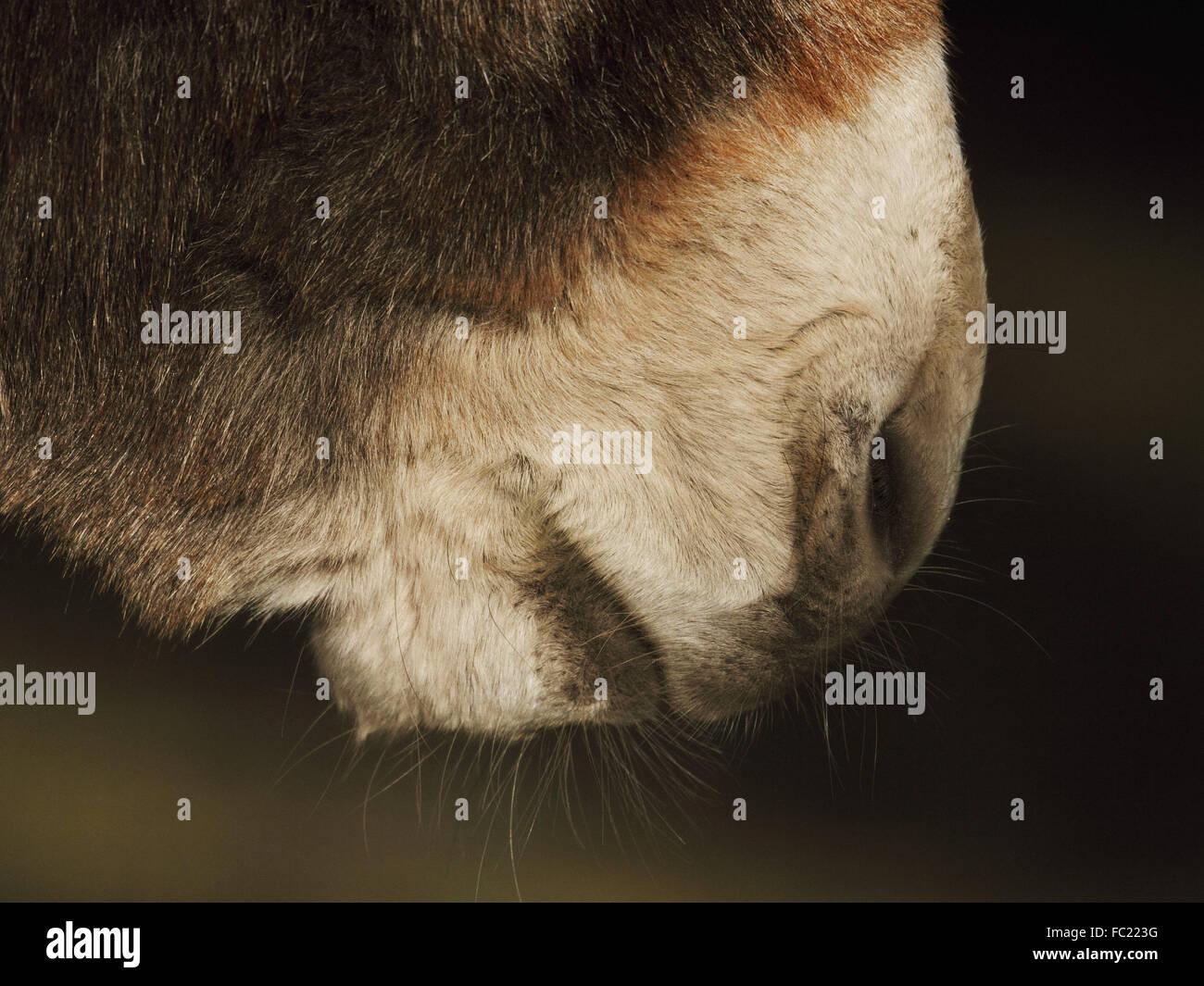 Donkey, Donkey's nose Stock Photo