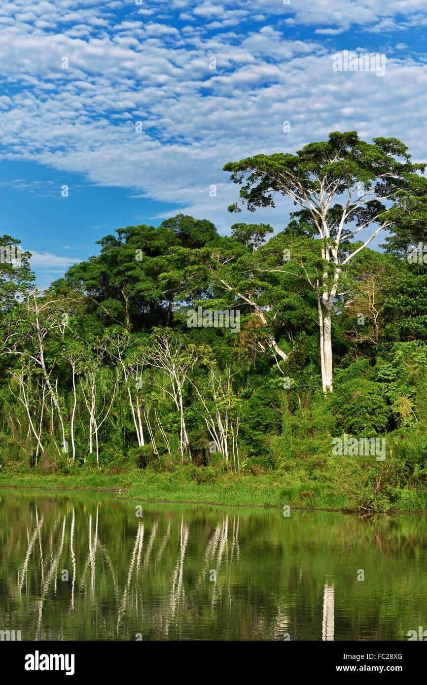 Cecropia (Cecropia), Madre Dios River, Manu National Park, Peru - Stock Image