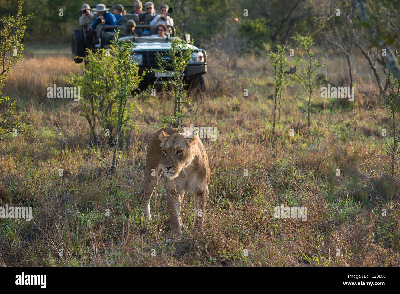 Lioness (Panthera leo) and safari jeep, Sabi Sands Game Reserve, South Africa - Stock Image