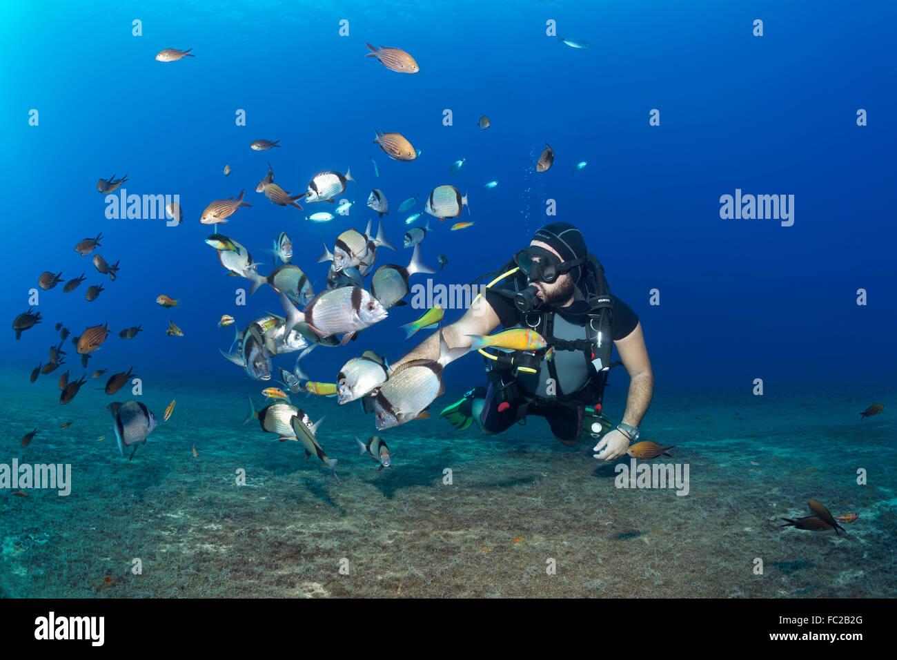 Diver feeding fish, White seabream or Sargo (Diplodus sargus), Larnaca, Cyprus - Stock Image