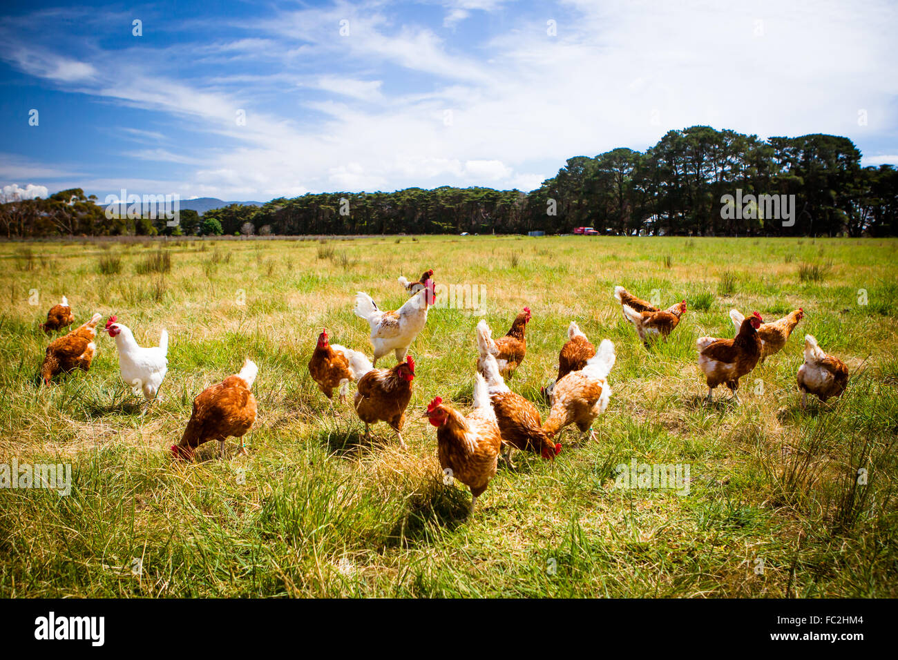 Chickens In A Field - Stock Image