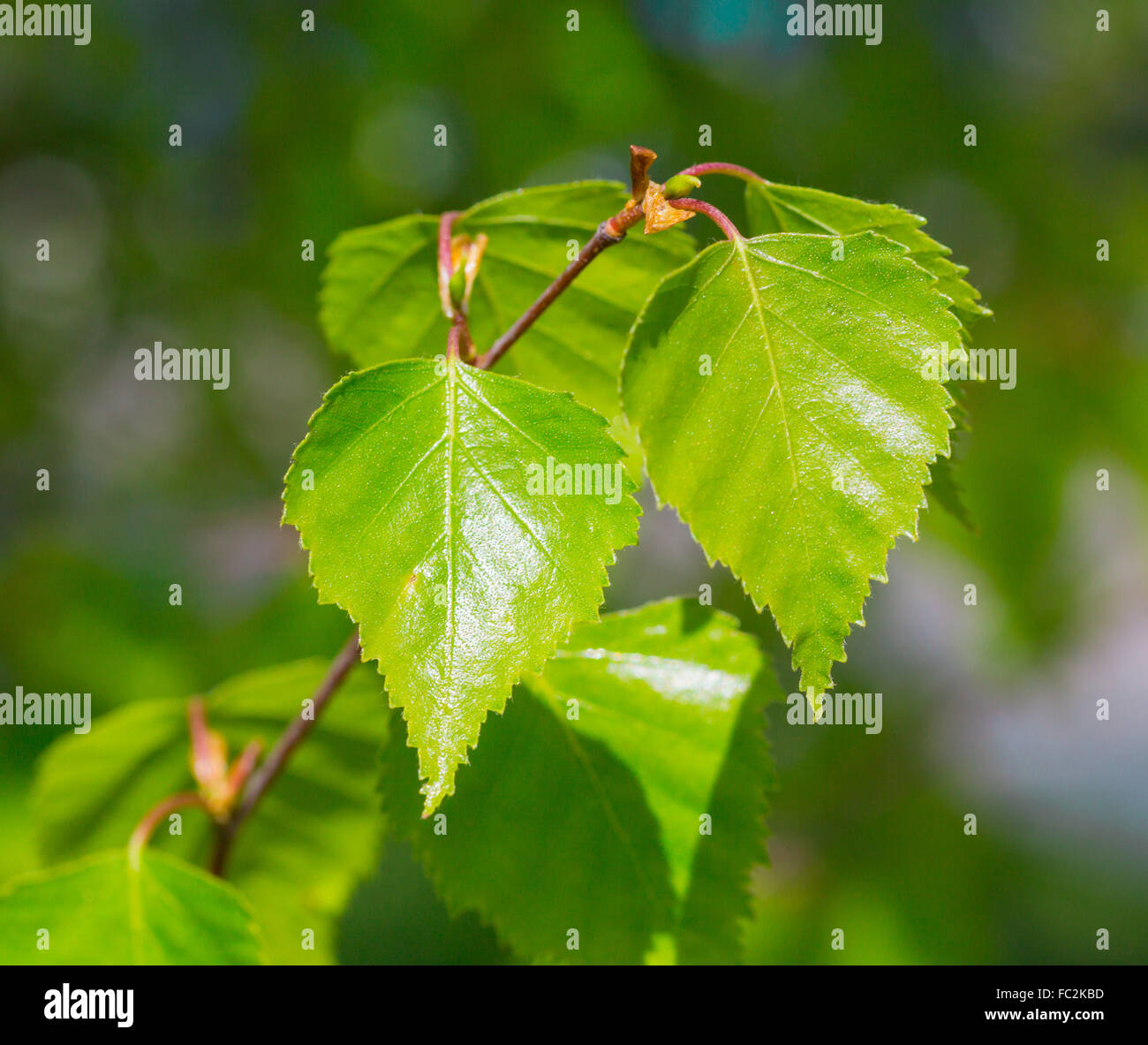 Young birch leaves - Stock Image