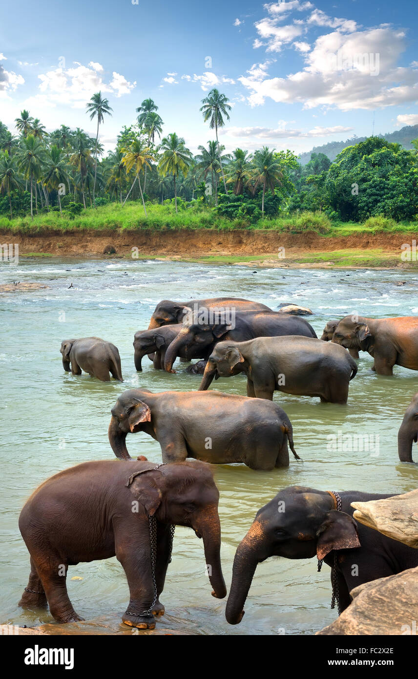 Herd of elephants in river of jungle - Stock Image