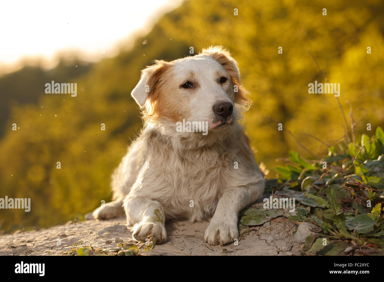 Pity Ginger Dog Outdoor on Green Background - Stock Image
