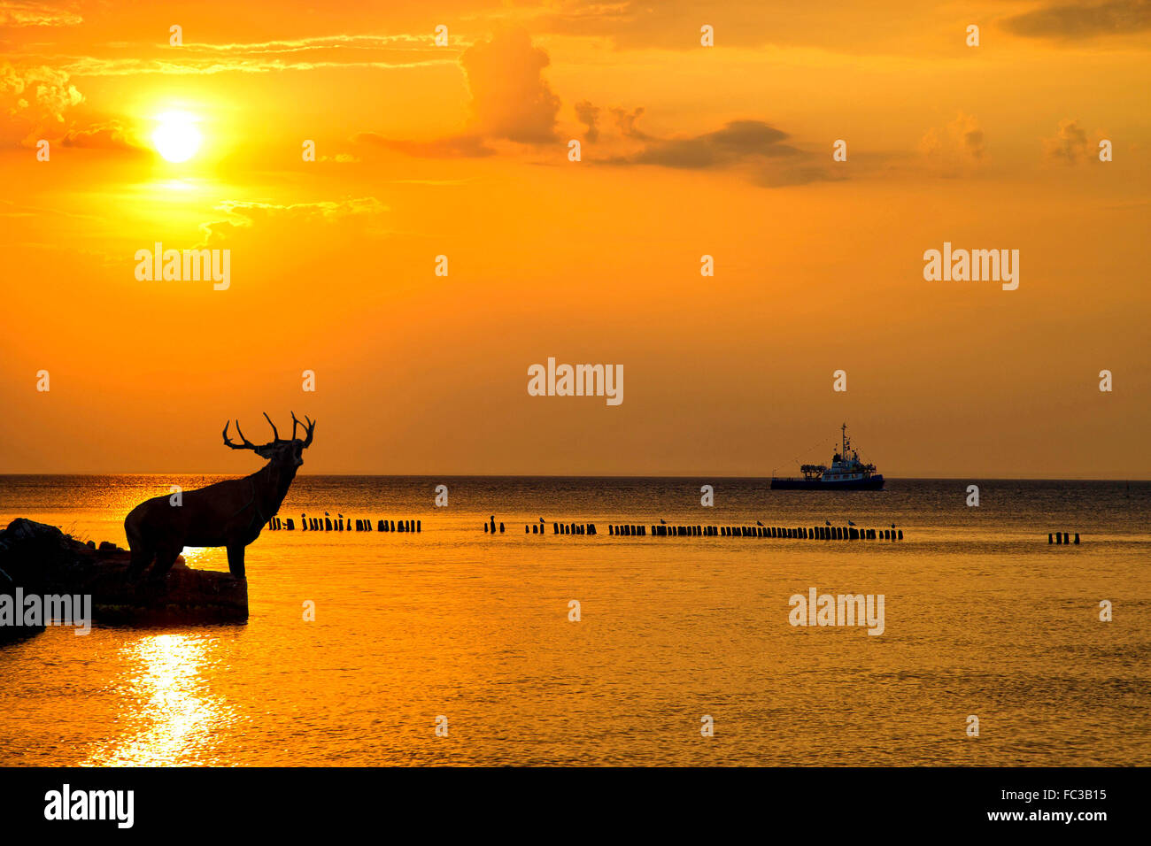 Red deer bellowing at sunset in the wild - Stock Image