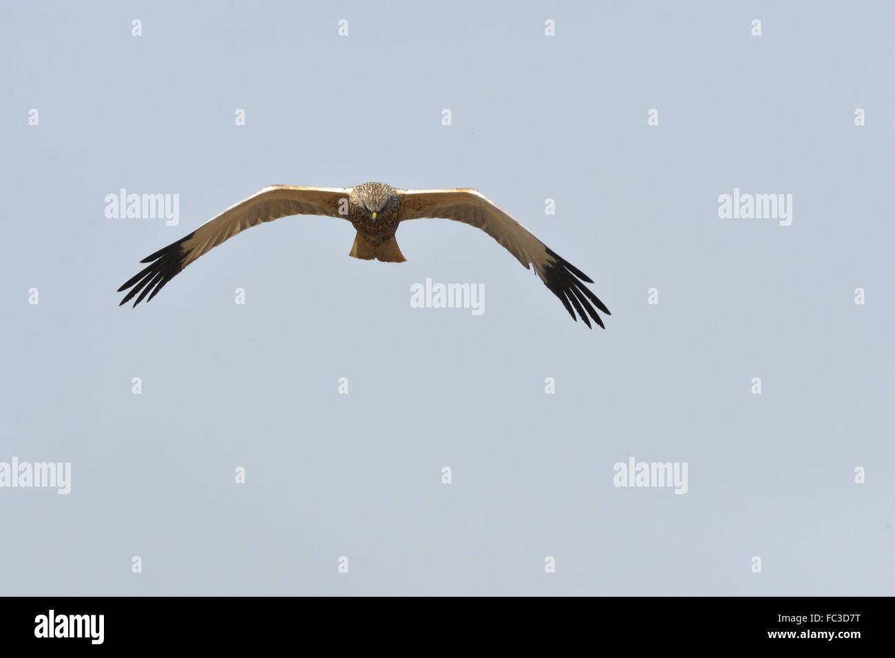 Western Marsh Harriers Stock Photo
