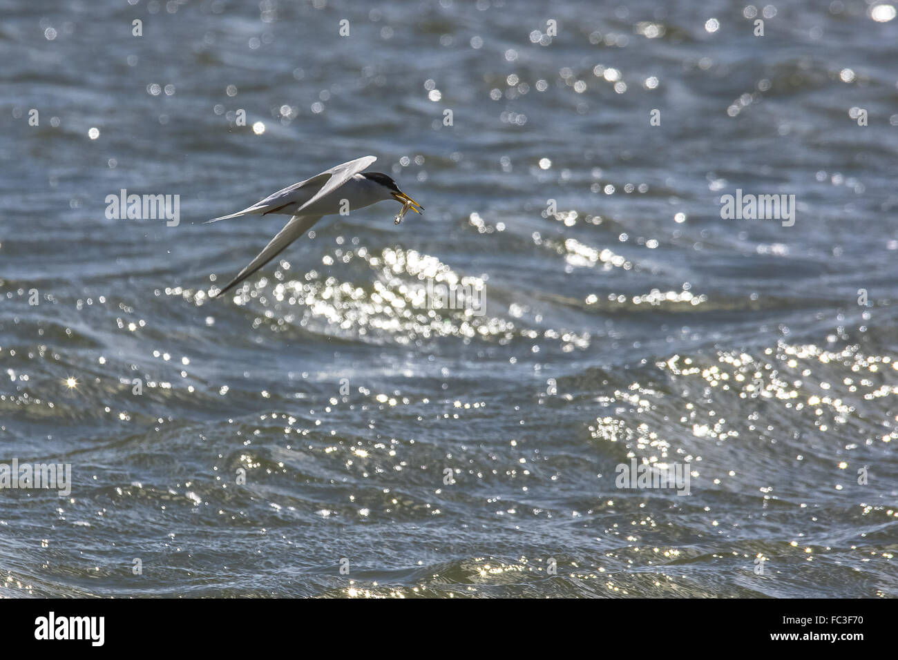 Little tern with booty - Stock Image