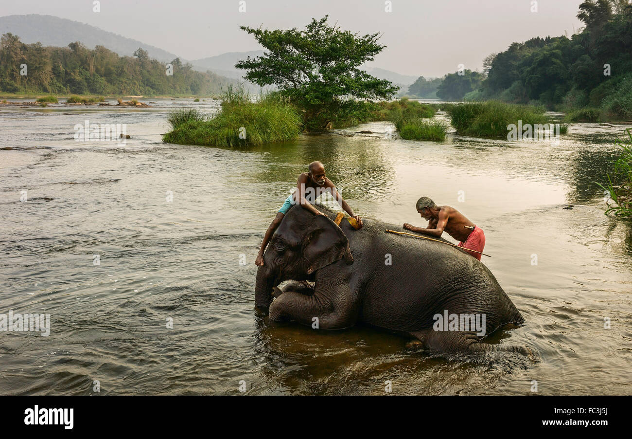 Trainers bathe young elephant in the Periyar river as part of training regimen at dawn. - Stock Image