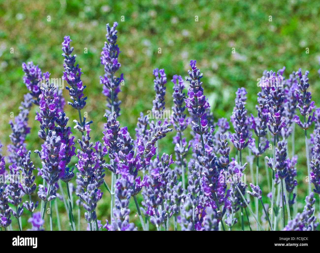 Bloom of Fragrant Lilac Lavender Flowers Stock Photo