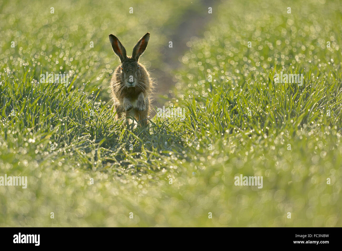 Brown Hare / European Hare / Feldhase ( Lepus europaeus ) jumps towards, sparkling pearls of dew, frontal view, - Stock Image