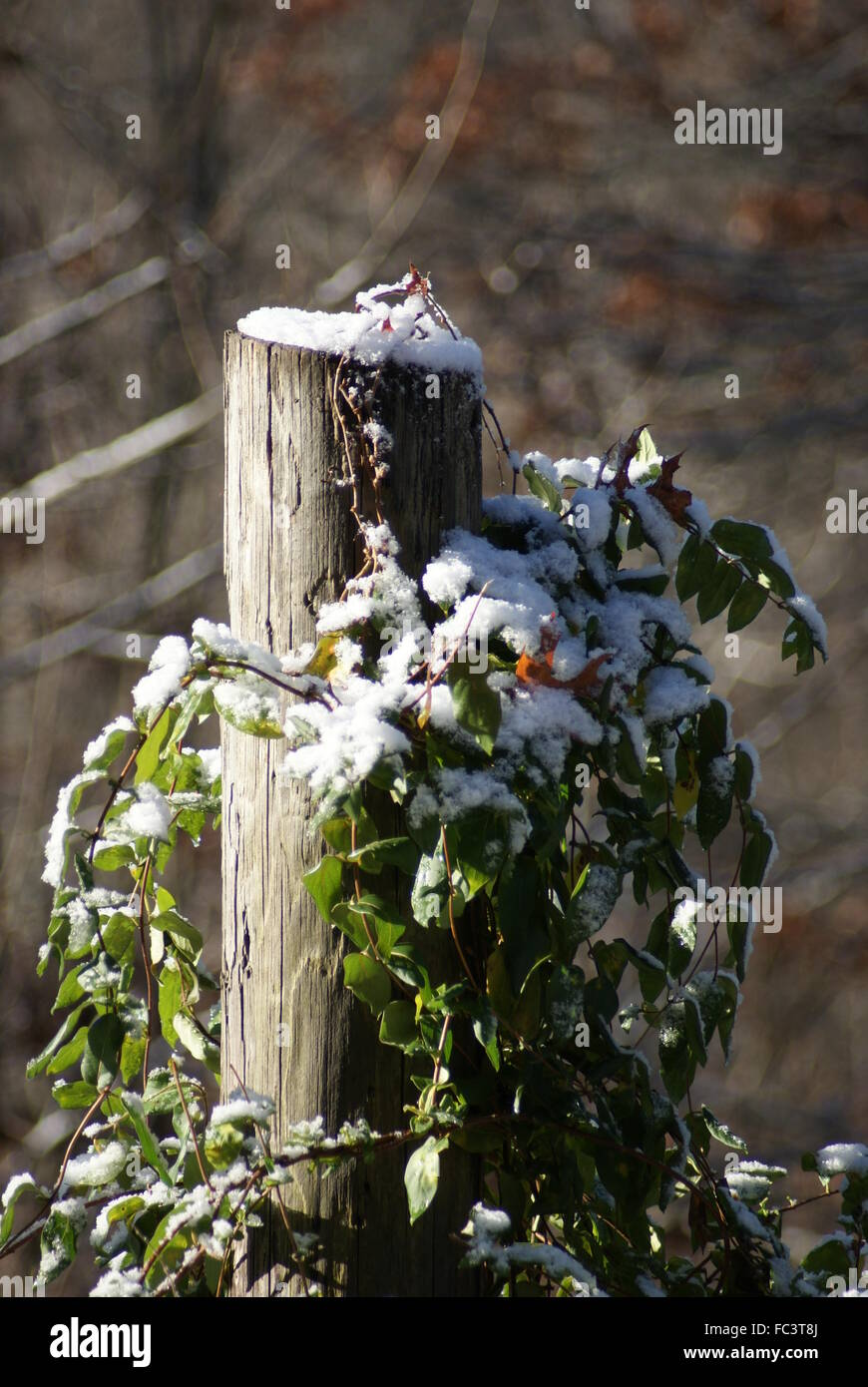 A fence post with vines growing on it after a snow fall. - Stock Image