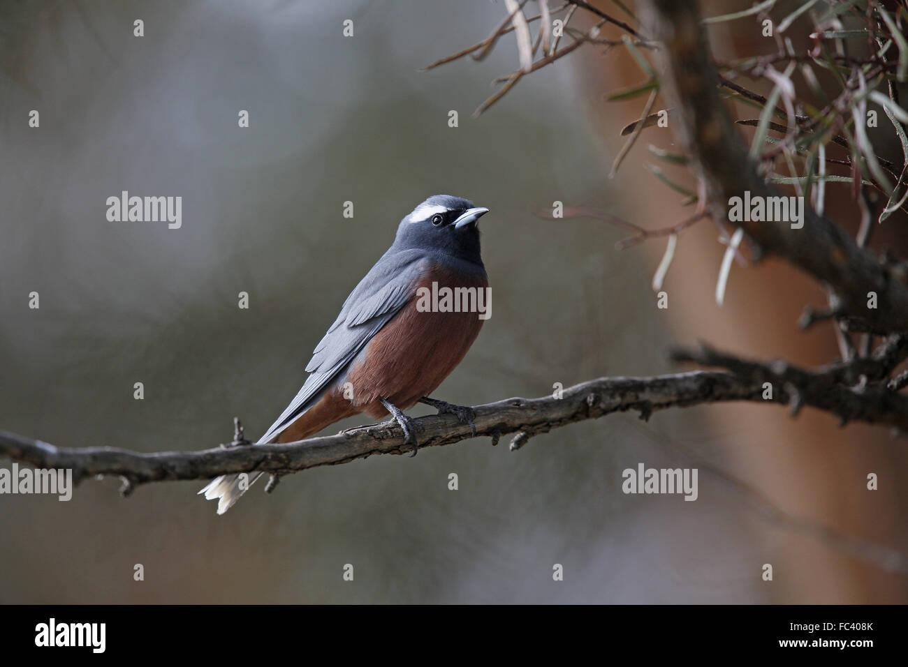 White-browed Woodswallow, Artamus superciliosus - Stock Image