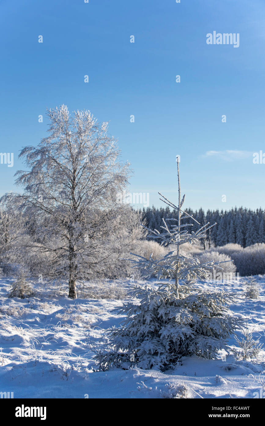 Norway spruce (Picea abies) and downy birch (Betula pubescens) trees covered in the snow in winter, High Fens, Belgian - Stock Image
