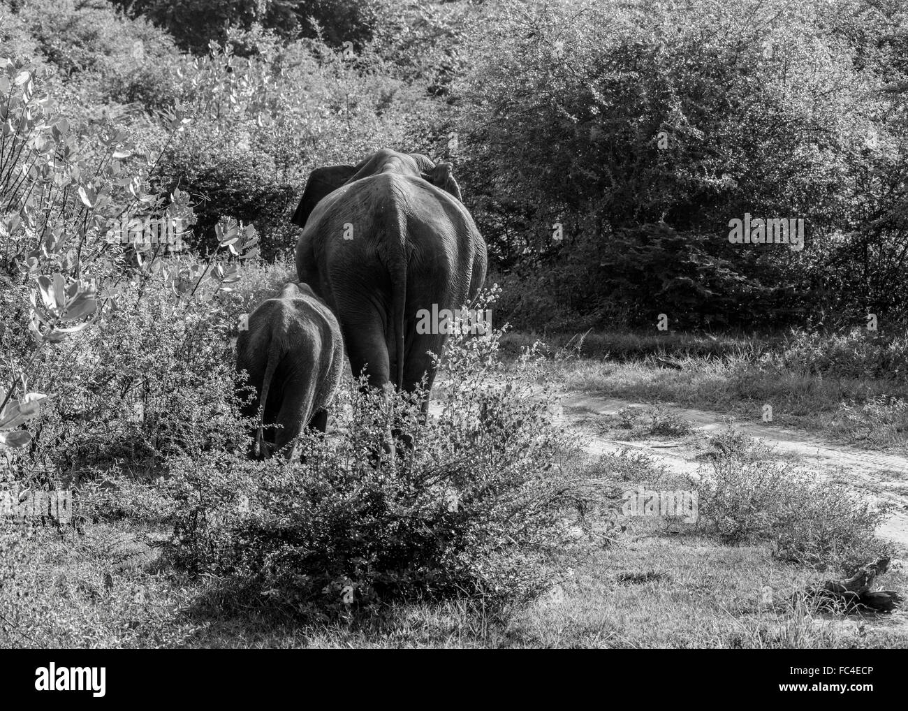 Wild Asian elephant walks through the shrub with its young baby in Udawalawe, Sri Lanka - Stock Image