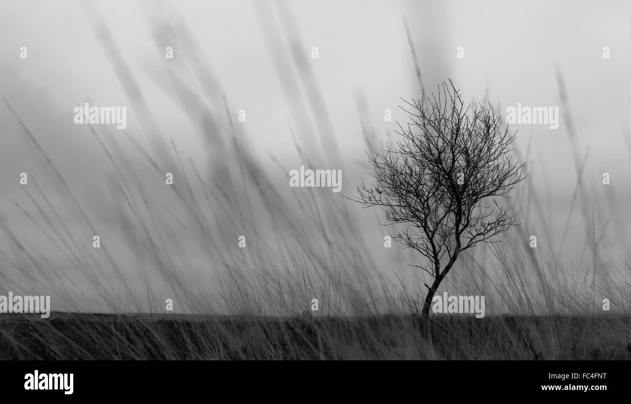 silhouetted, solemn tree, set against a darkened, dramatic background.  Shot through tall grass - Stock Image
