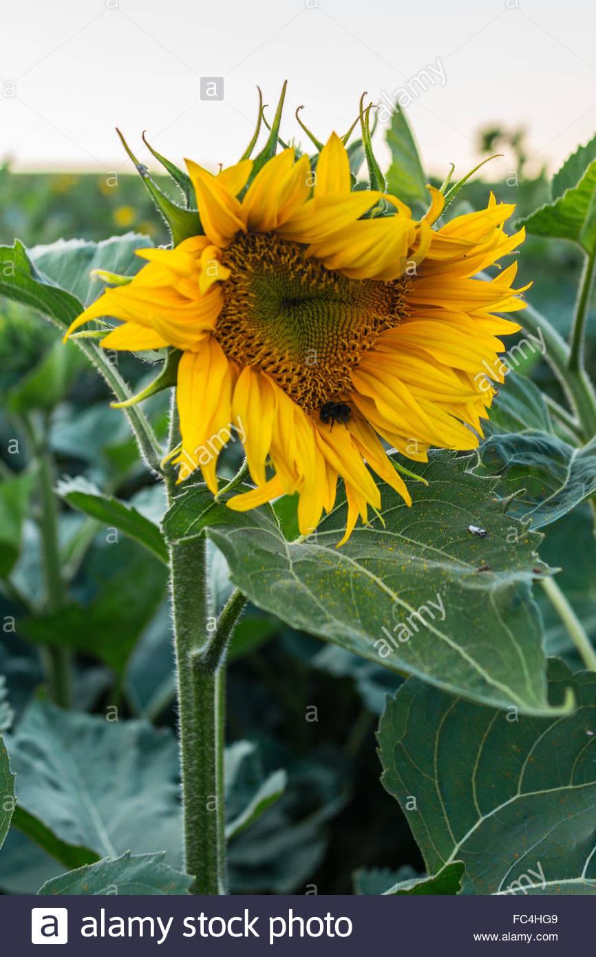 deformed sunflower - Stock Image
