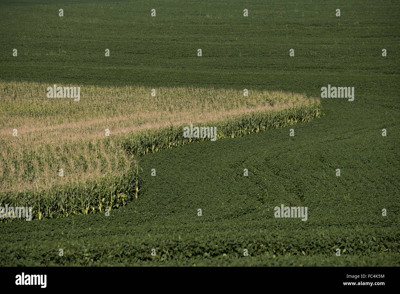 Soybean corn plantation in the countryside - rotation of crops - Stock Image