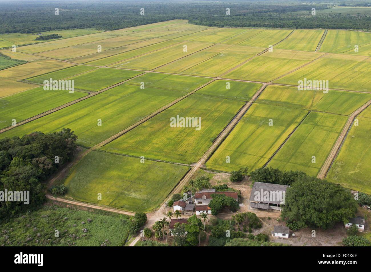 Plantation of rice in coastal plain and thirst farm in rural Iguape - Stock Image