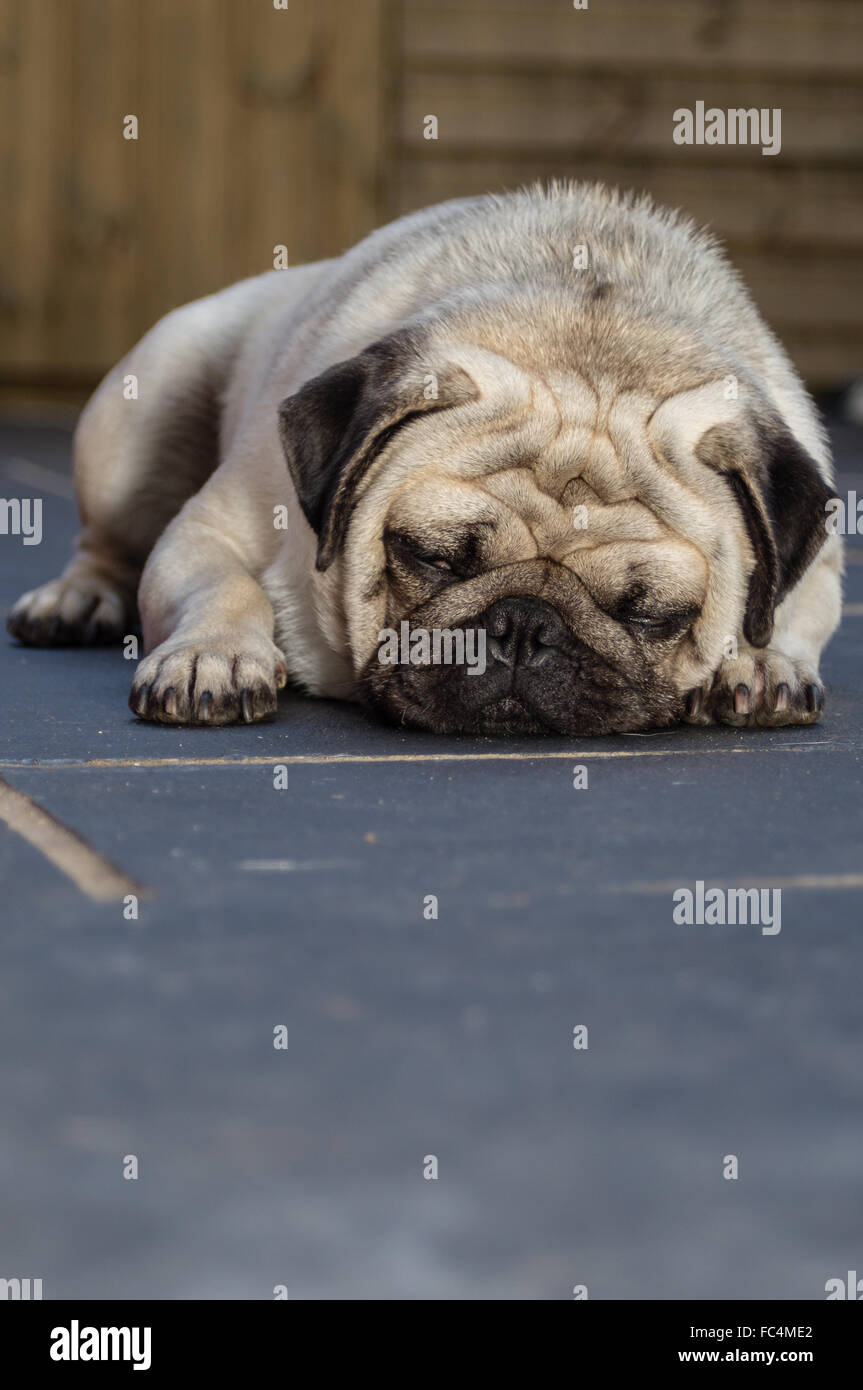 A Pug dog sleeping on a tiled floor - Stock Image