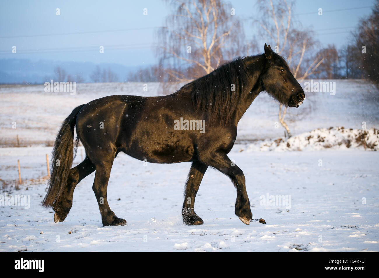 Friesian horse in winter Stock Photo