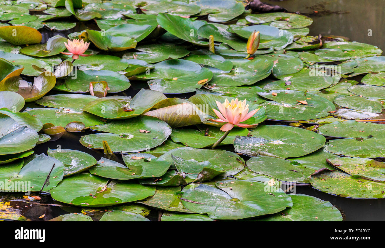 Blooming Lotus Flowers The Lotus Flower Is Associated With Purity