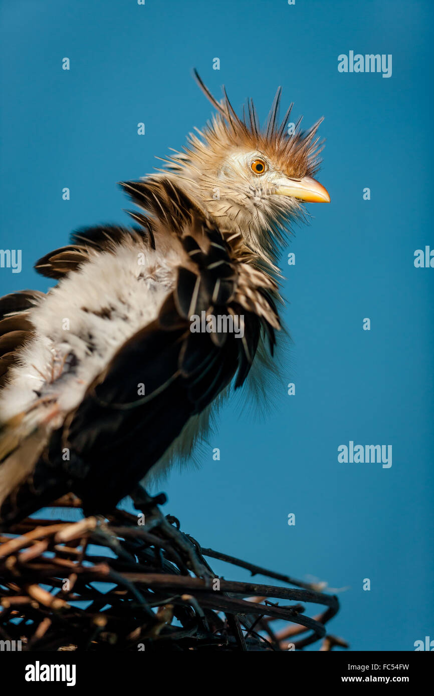 Guira Cuckoo (guira guira) on its twig nest. - Stock Image