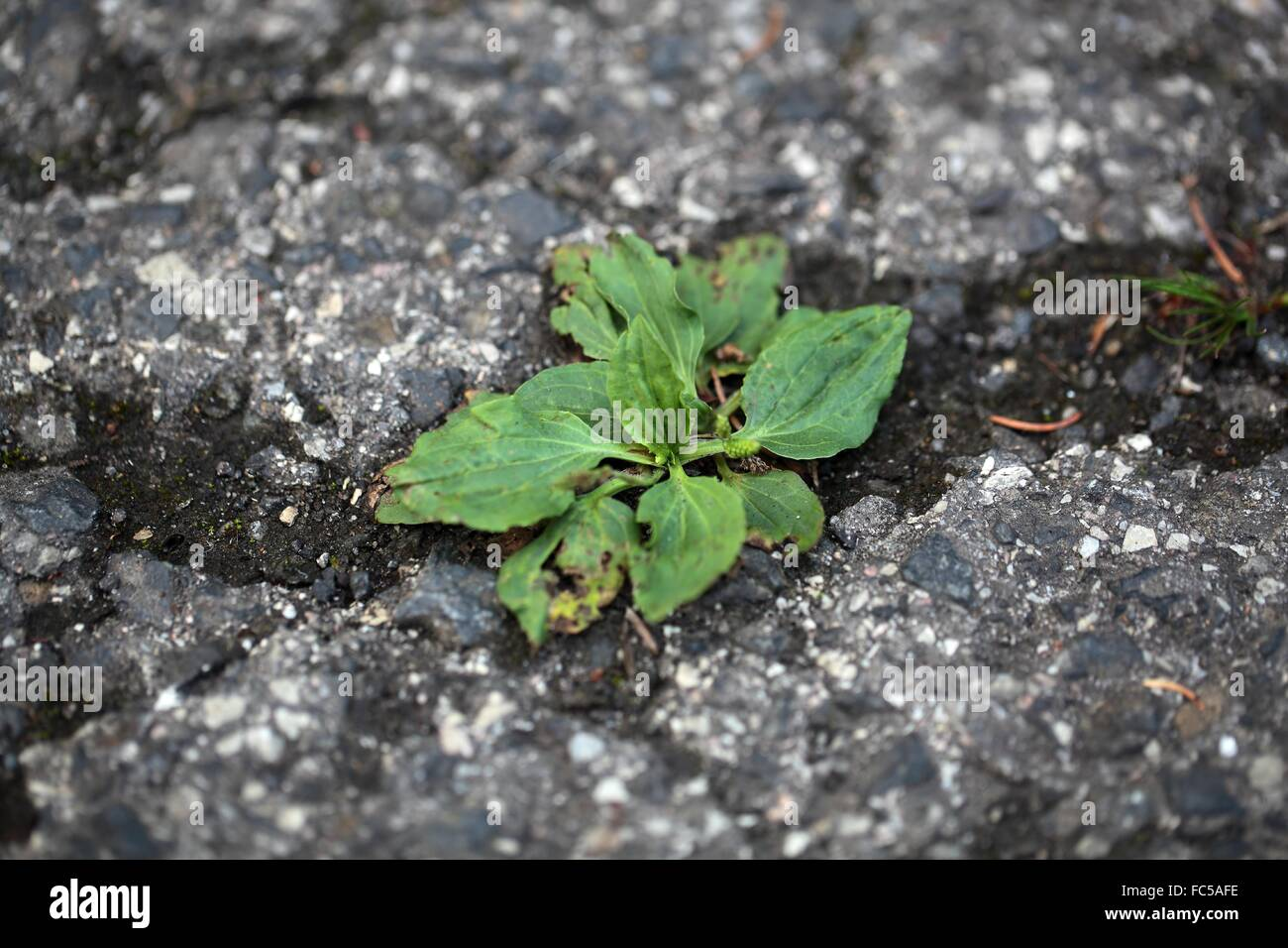 Green plants growing on a tarred road. - Stock Image