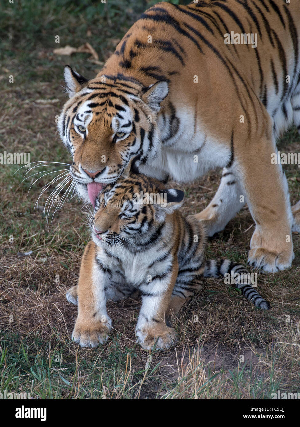 Amur (Siberian) tiger washing her young son - Stock Image