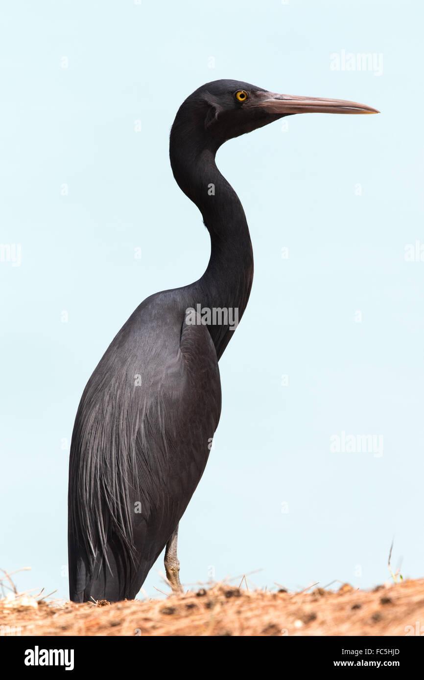 dark colour morph of Pacific Reef Egret (Egretta sacra) - Stock Image