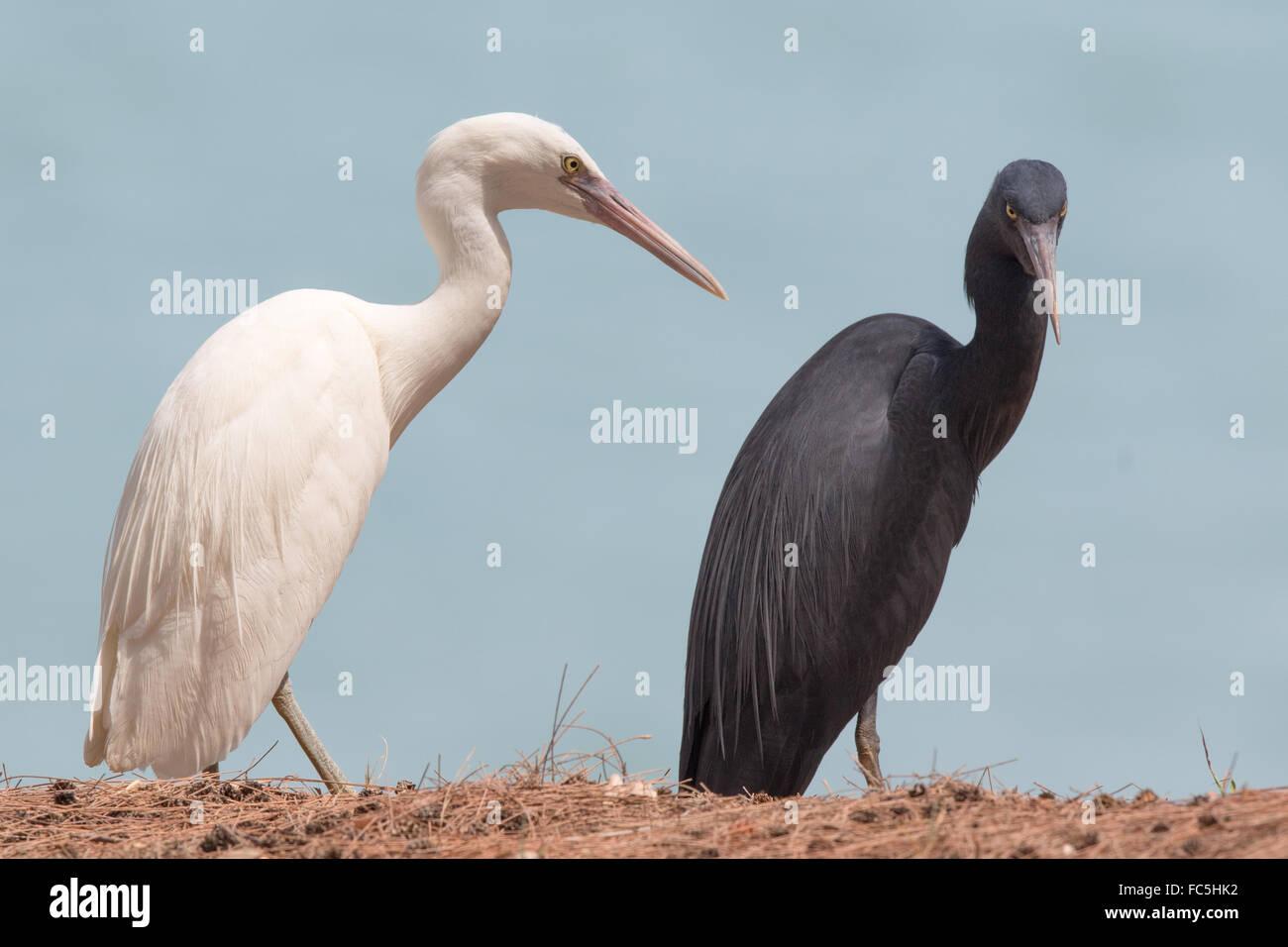 white and dark colour morphs of Pacific Reef Egret (Egretta sacra) - Stock Image