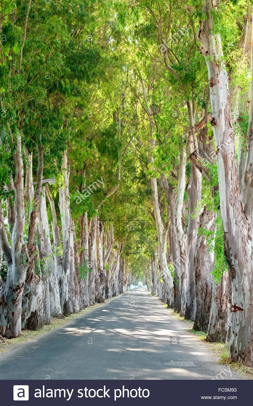 Eucalyptus road. Rhodes, Greece - Stock Image