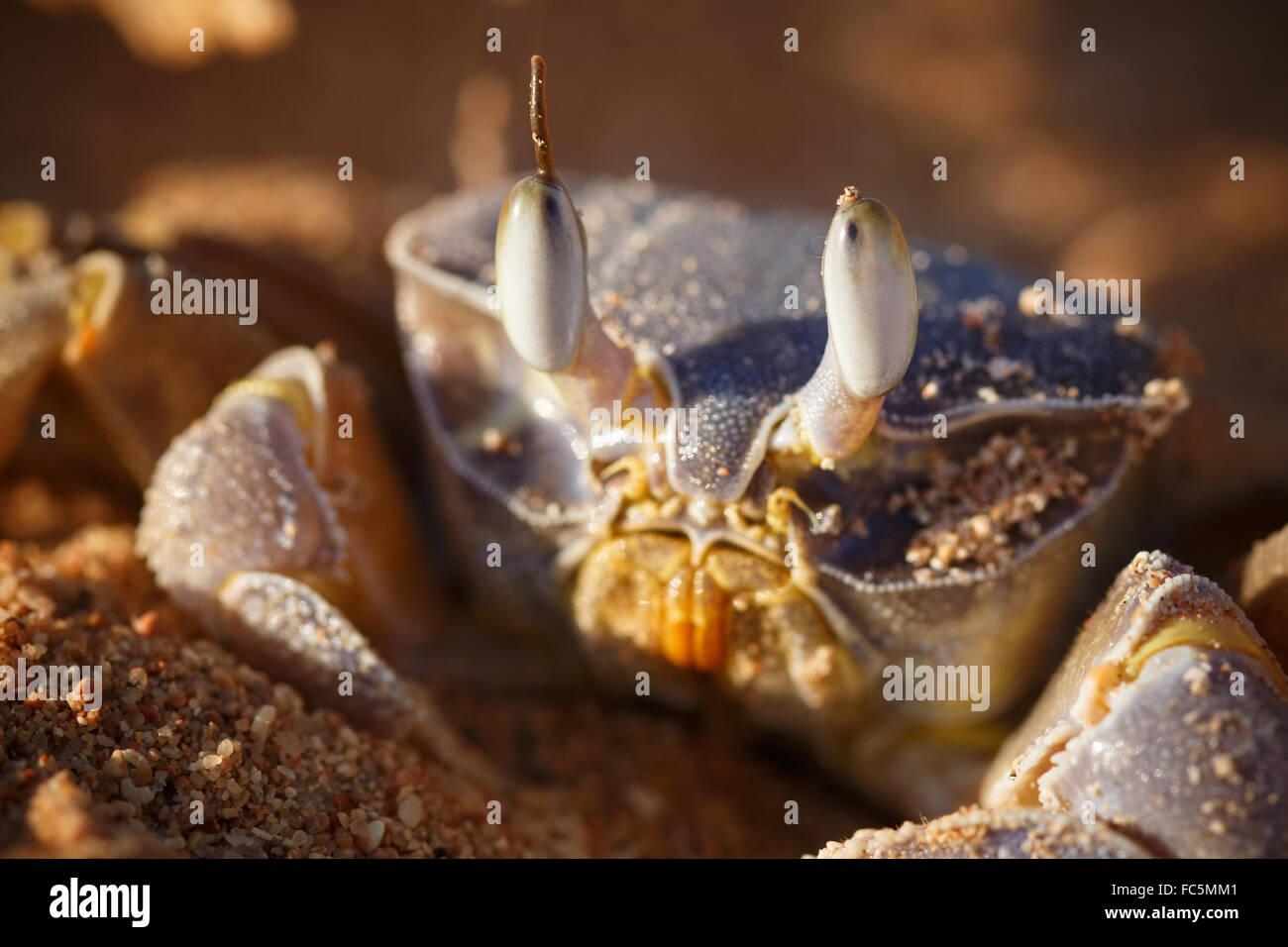 Red Sea ghost crab, Ocypode saratan Stock Photo