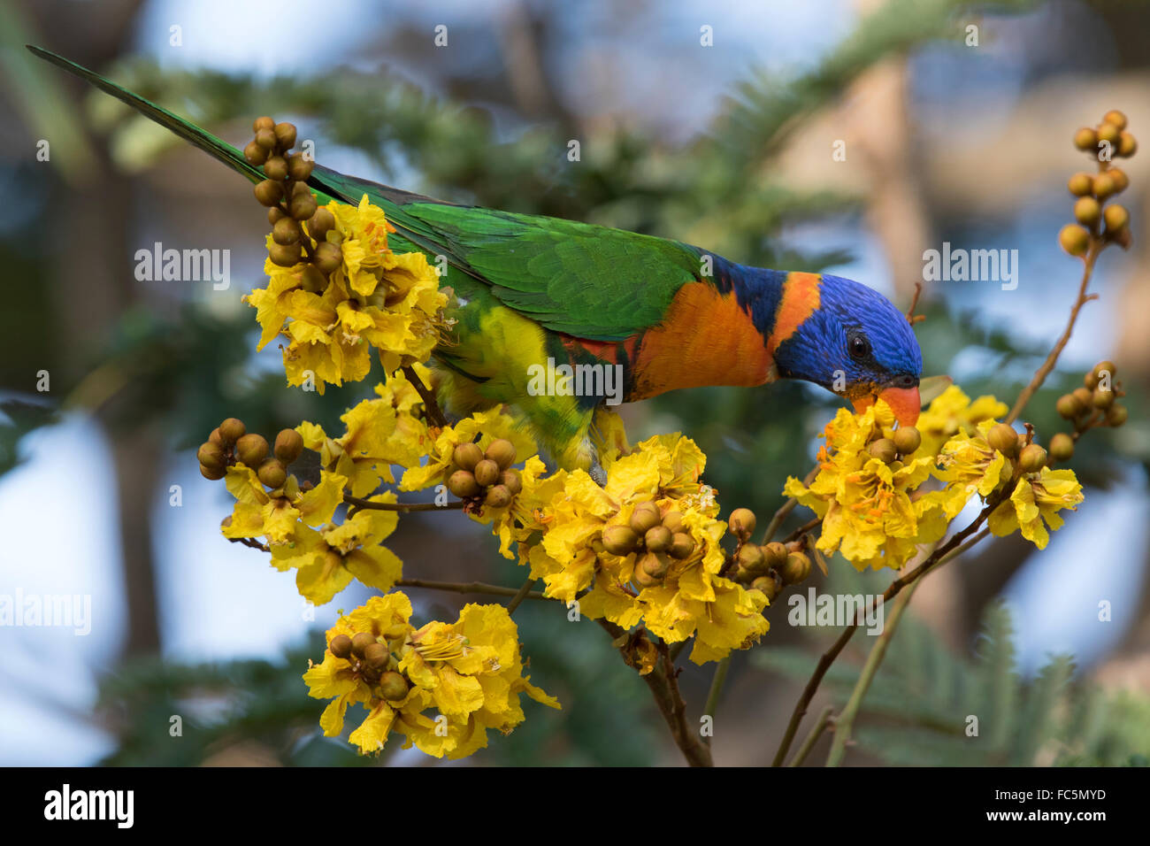 Red-collared Lorikeet (Trichoglossus rubritorquis) feeding on nectar in a flowering tree Stock Photo