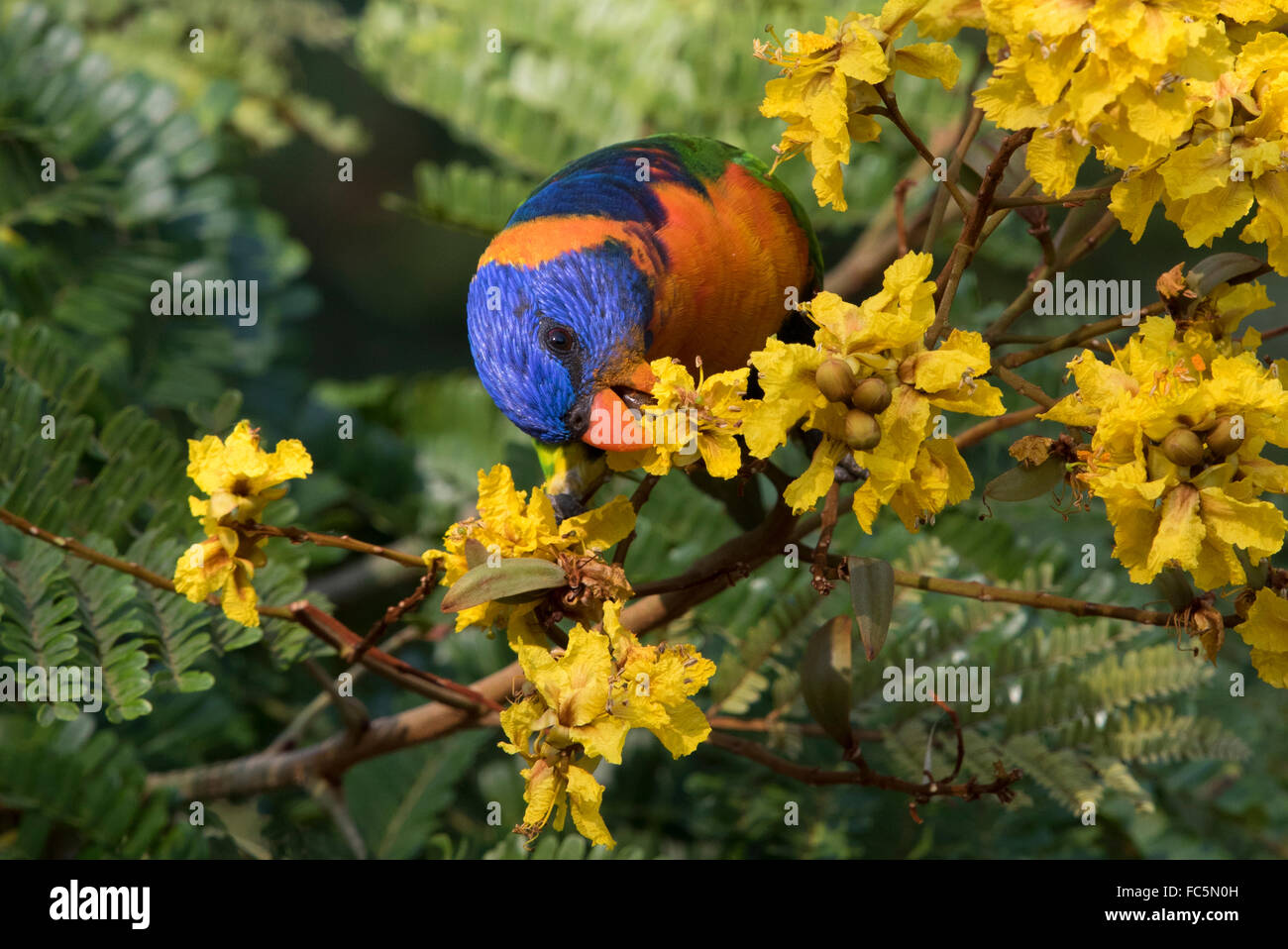 Red-collared Lorikeet (Trichoglossus rubritorquis) feeding on nectar in a flowering tree - Stock Image