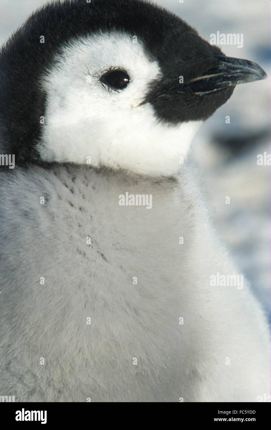 Emperor Penguin Chick head shot and profile view. Chick in juvenile plummage. Location Dawson Lambton Glacier area - Stock Image