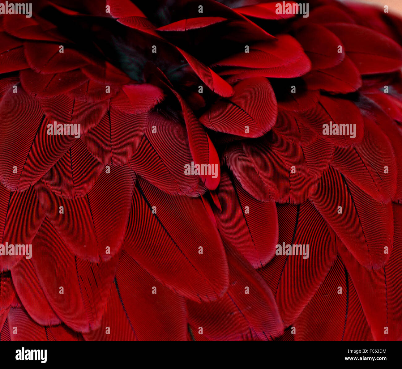 Red bird feathers from a macaw parrot - Stock Image