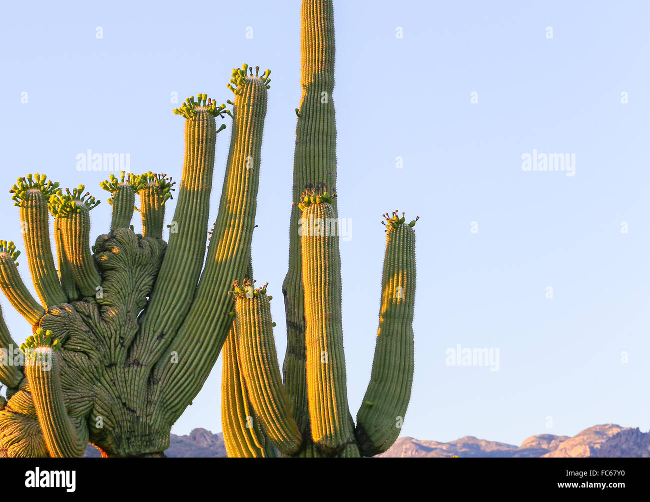Crested saguaro - Stock Image