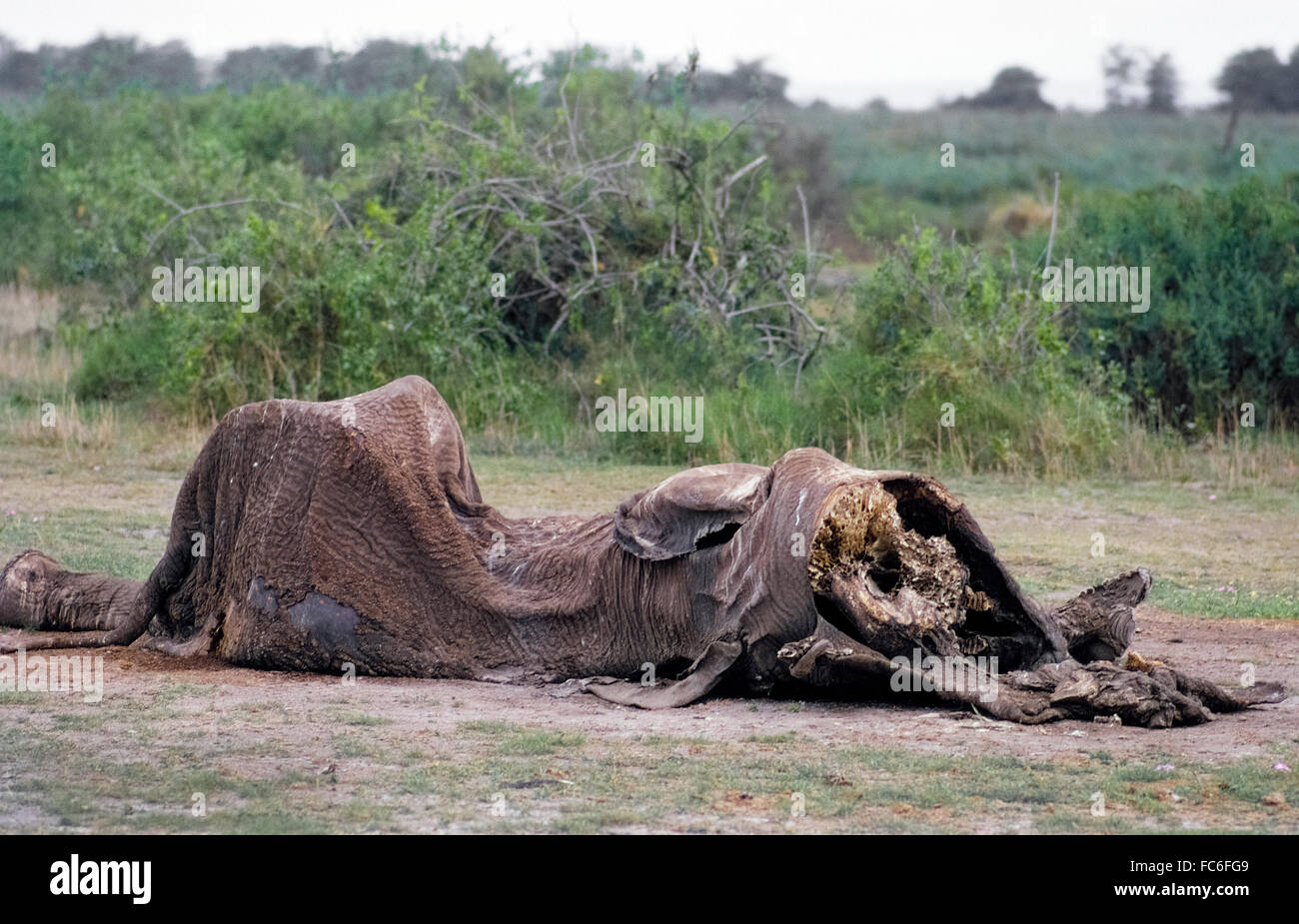 The dried-up carcass of an African elephant (Loxodonta africana) that was eaten by wild animals is all that remains - Stock Image