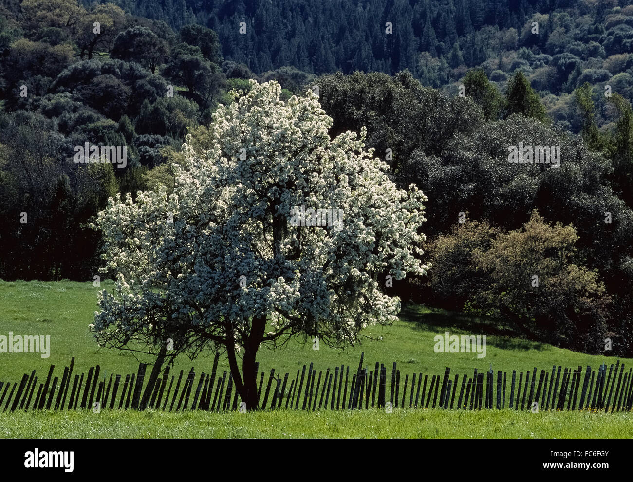 A single apple tree (Malus domestica) with its beautiful white blossoms in springtime stands out in the rural countryside - Stock Image