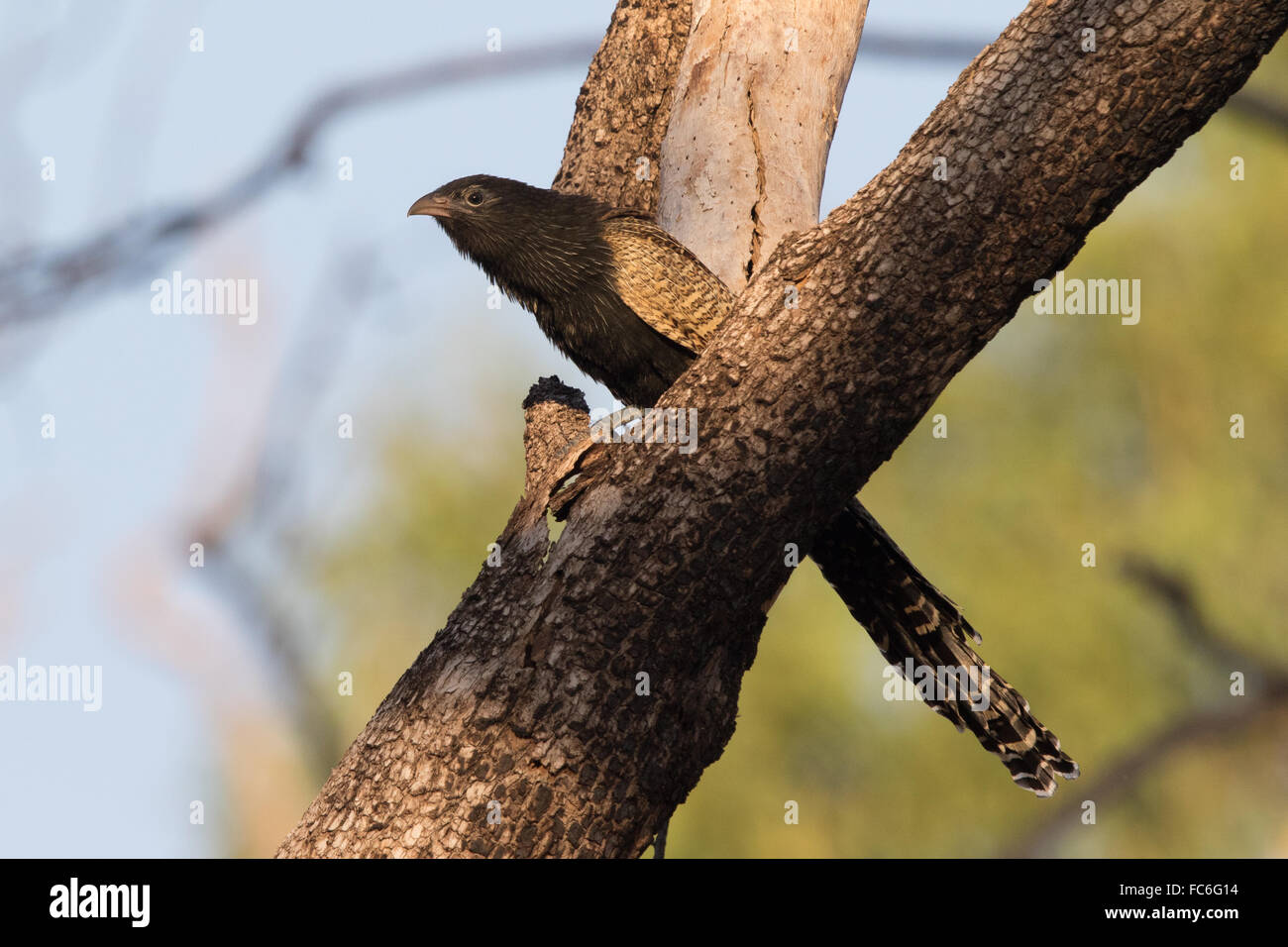 Pheasant Coucal (Centropus phasianinus) in breeding plumage - Stock Image