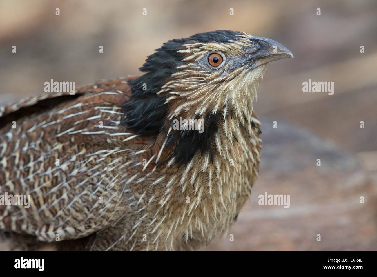 Pheasant Coucal (Centropus phasianinus) moulting into breeding plumage - Stock Image