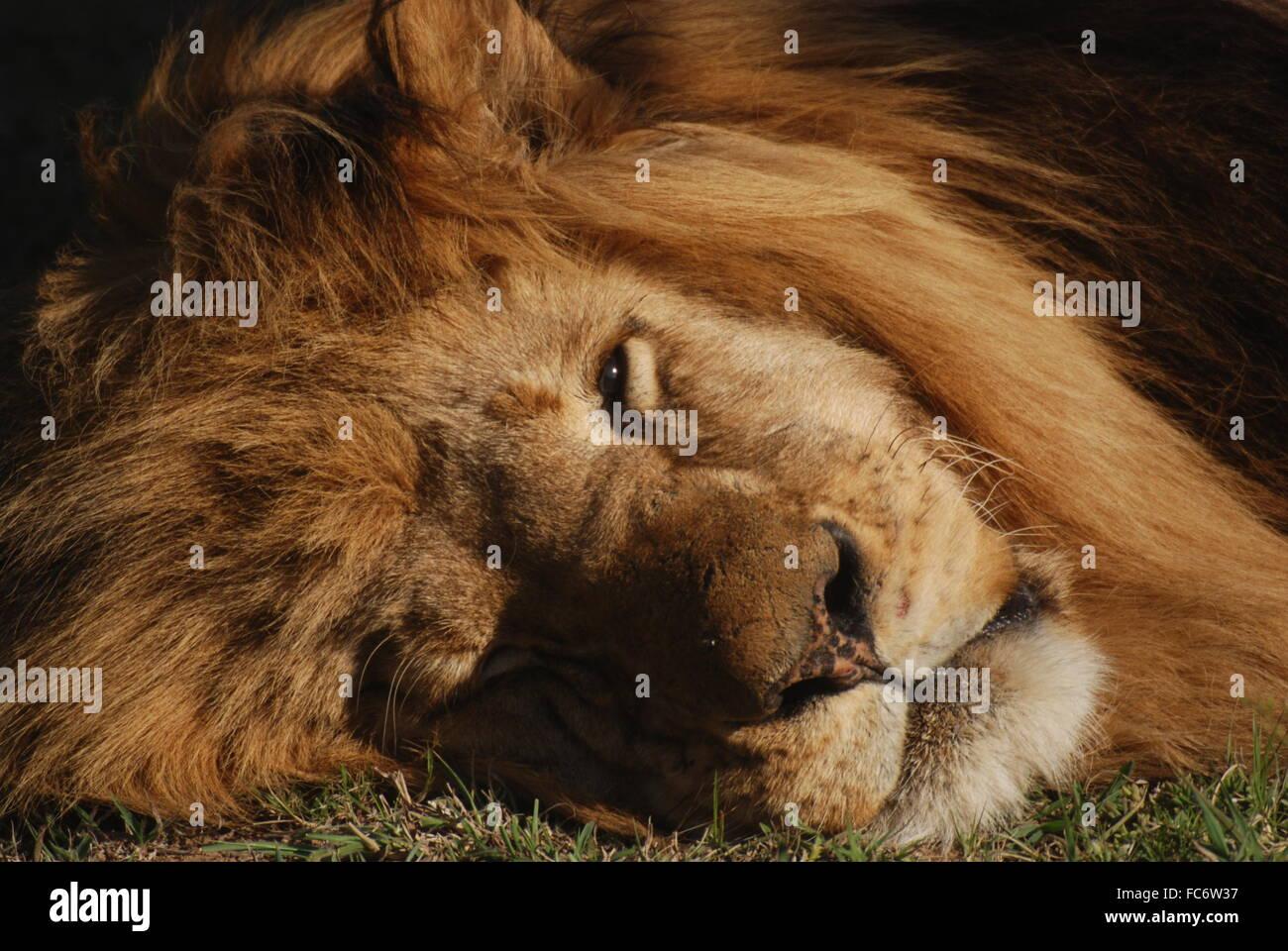 dozing lion - Stock Image