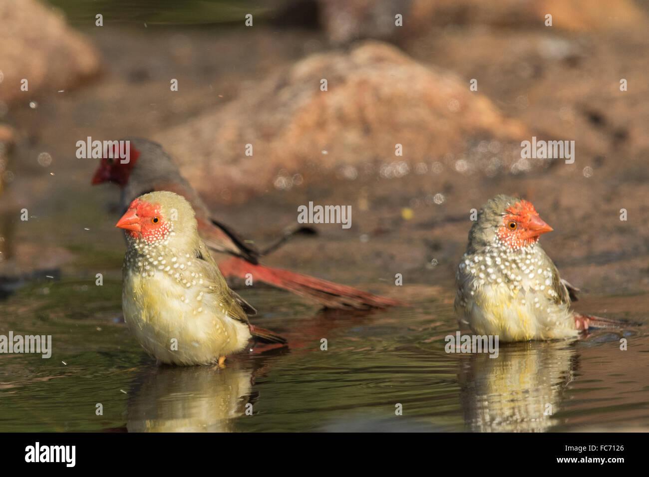 Star Finches (Neochmia ruficauda) bathing - Stock Image