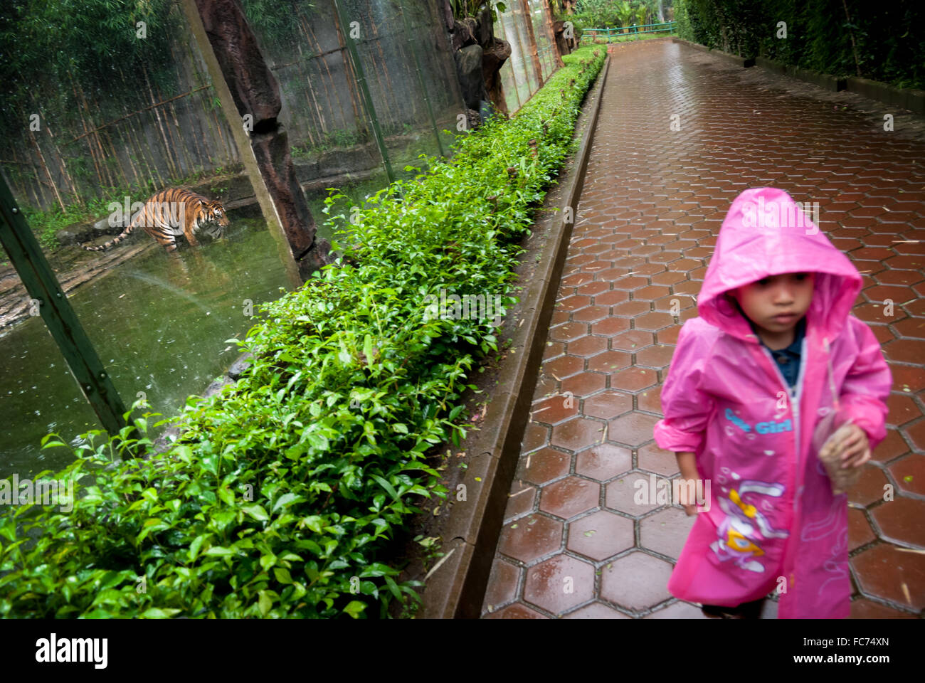 A little girl in raincoat walks as she pass tiger cage in zoo. © Reynold Sumayku - Stock Image