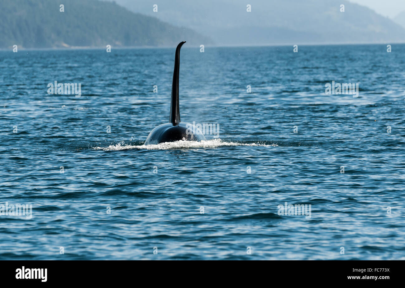 Canada - Orcas close to Vancouver Island - Stock Image