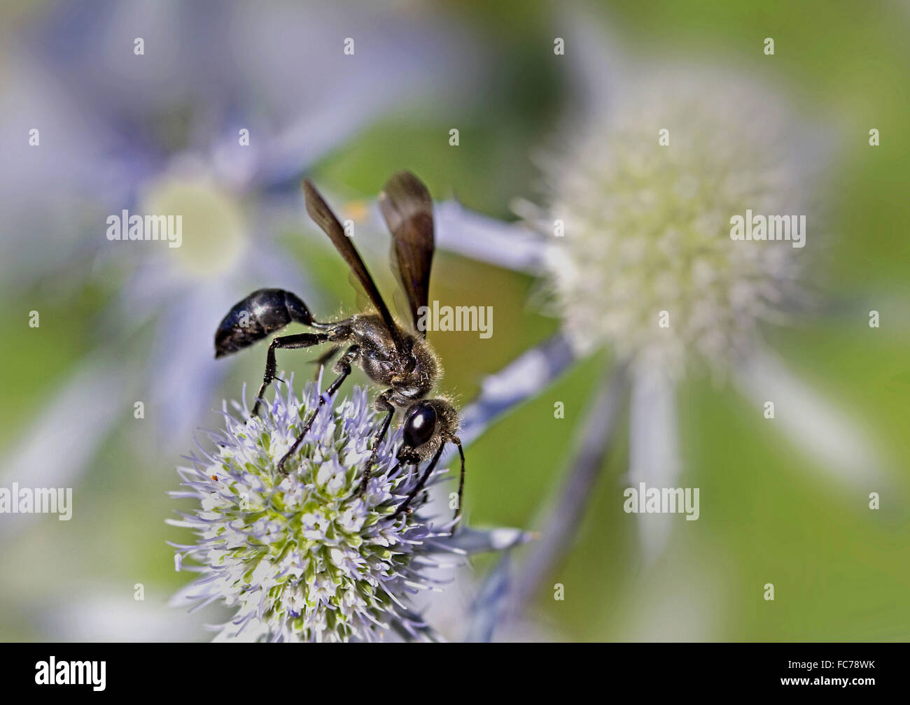 Grass-carrying wasp - Stock Image
