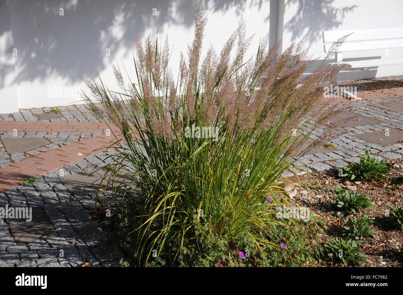 Calamagrostis Brachytricha Stock Photos & Calamagrostis ...
