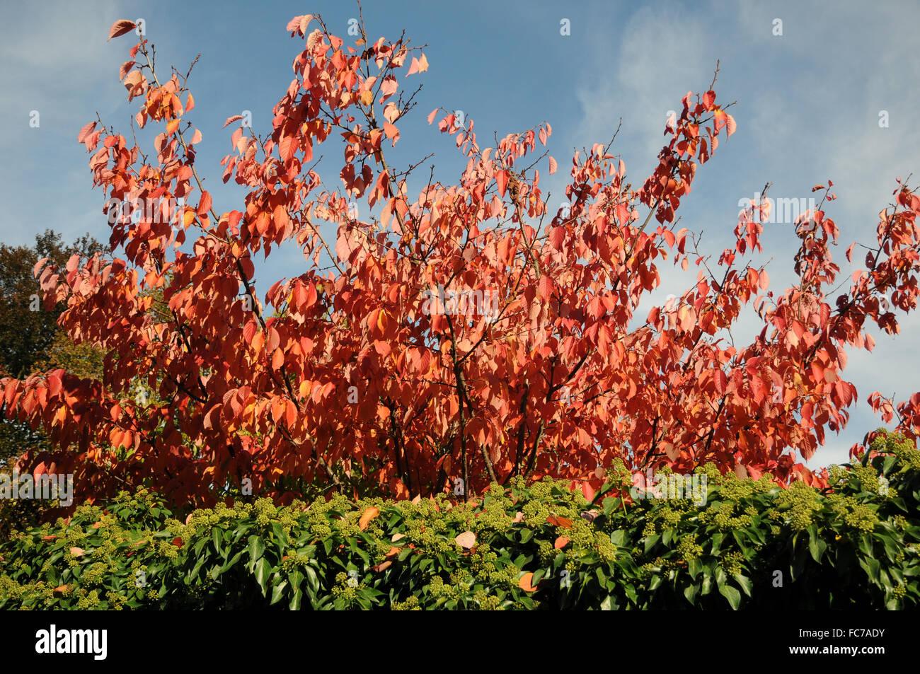 Sargents cherry Stock Photo