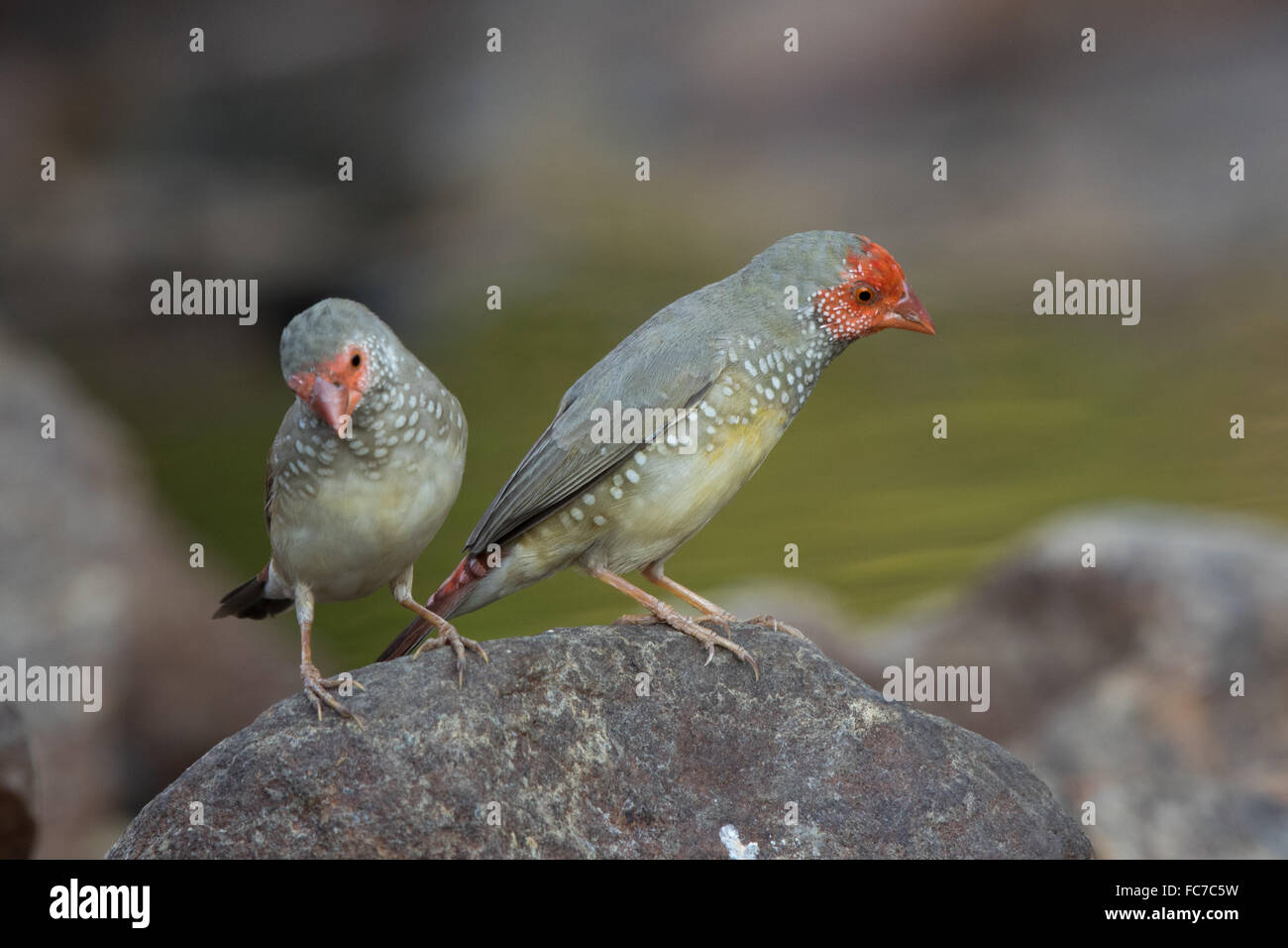Star Finches (Neochmia ruficauda) perched on a rock - Stock Image