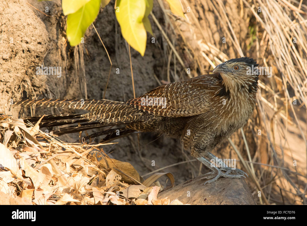 Pheasant Coucal (Centropus phasianinus) sheltering in the shade - Stock Image